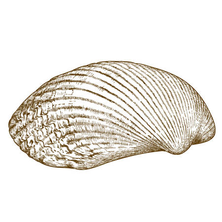 clam illustration: antique engraving illustration of clam shell isolated on white background