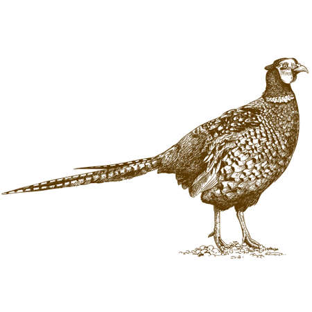 antique engraving illustration of pheasant isolated on white background