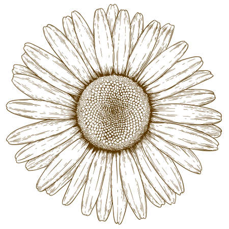chamomile flower: antique engraving illustration of chamomile flower isolated on white background