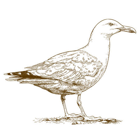 antique engraving illustration of gull isolated on white background