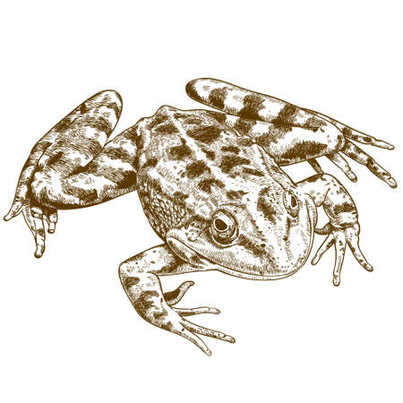 antique engraving illustration of frog isolated on white background  イラスト・ベクター素材