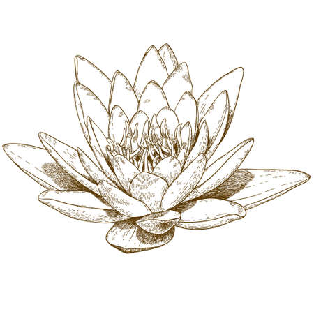 waterlily: hand drawn engraving illustration of water lily flower isolated on white background Illustration