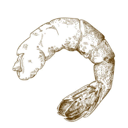Vector engraving illustration of highly detailed hand drawn shrimp tail isolated on white background