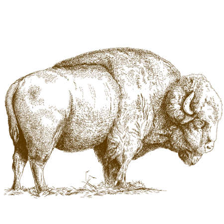 antique engraving illustration of bison isolated on white background Vectores