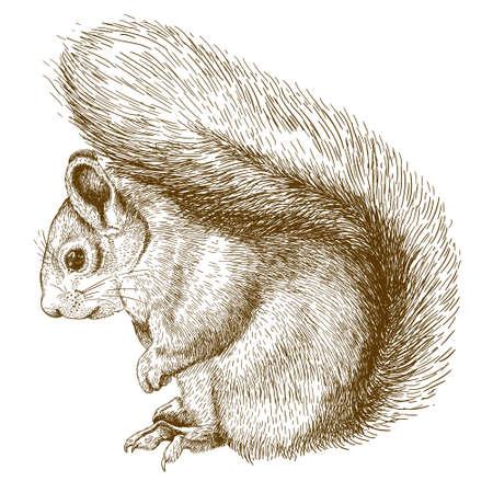 Vector antique engraving illustration of squirrel isolated on white background
