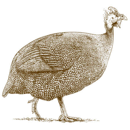 guinea: antique engraving illustration of guineafowl isolated on white background