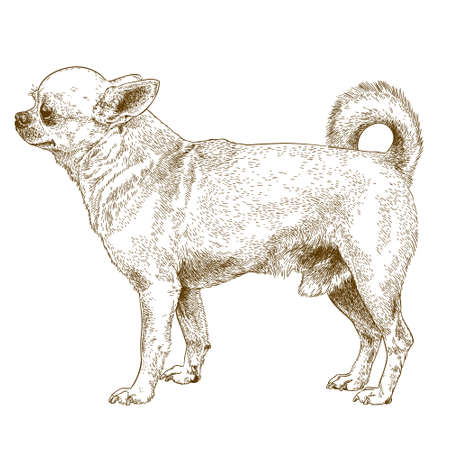 chihuahua dog: antique engraving illustration of chihuahua dog isolated on white background