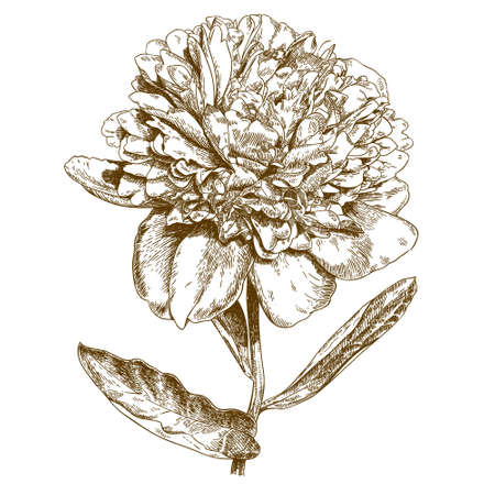 formal garden: antique engraving illustration of peony flower on white background Illustration