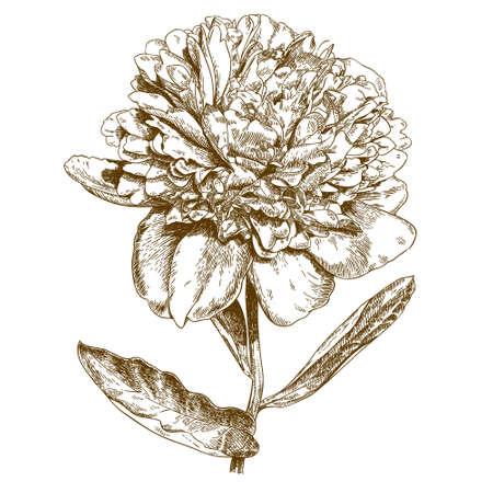 antique engraving illustration of peony flower on white background Illustration