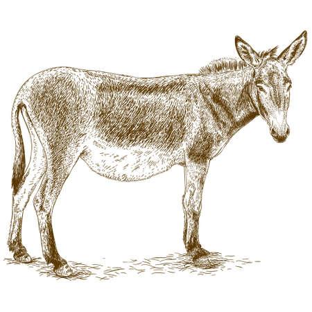 ejemplo antiguo grabado de burro aislado en el fondo blanco