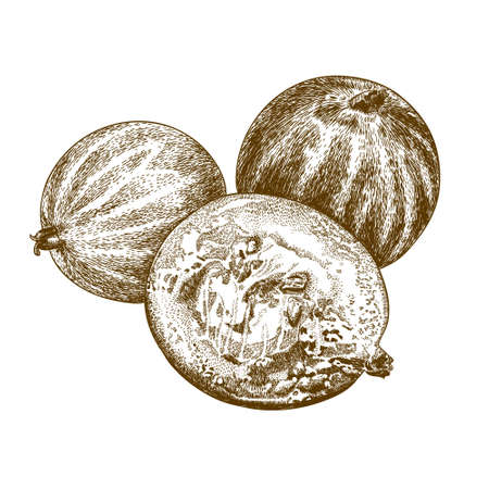 ribes: antique engraving illustration of gooseberry isolated on white background