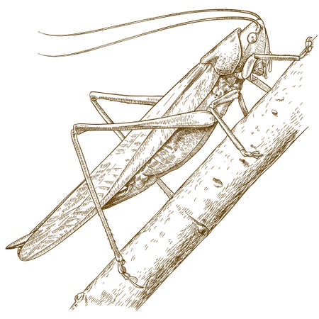 hopper: antique engraving illustration of grasshopper isolated on white background