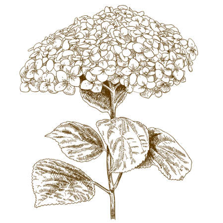 Vector antique engraving illustration of hydrangea isolated on white background