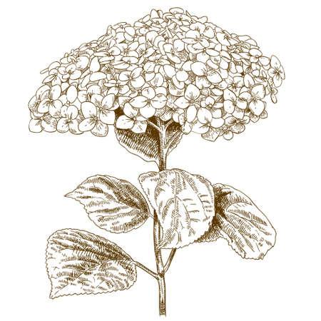Vector antique engraving illustration of hydrangea isolated on white background Illustration