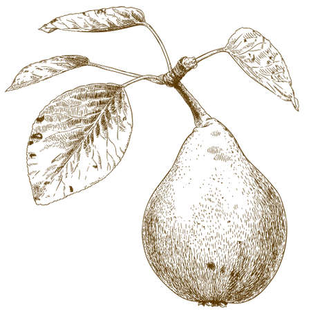 vector illustration of engraving pear on a branch on white background
