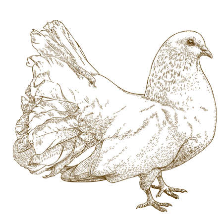 Vector engraving drawing antique illustration of white dove isolated on white background
