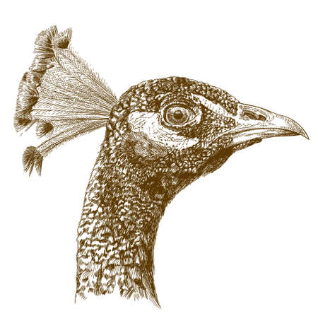 Vector antique engraving illustration of peacock head isolated on white background