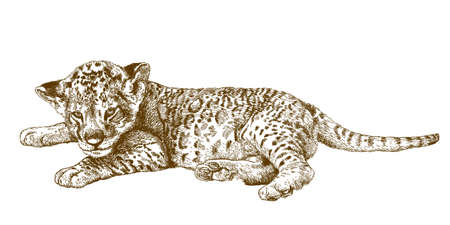 Vector antique engraving illustration of lion cub isolated on white background Illustration