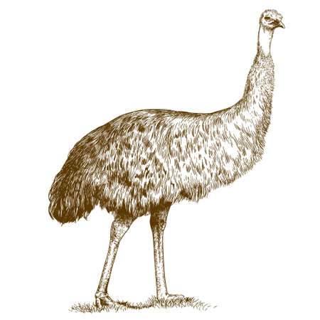 Vector antique engraving illustration of ostrich Emu isolated on white background