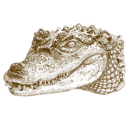 Vector antique engraving illustration of crocodile head