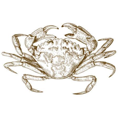 carapace: Vector antique engraving illustration of crab