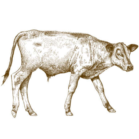 Vector antique engraving illustration of calf
