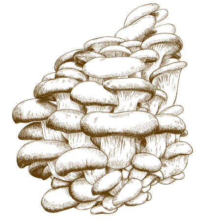 mycology: Vector antique engraving illustration of oyster mushroom isolated on white background Illustration