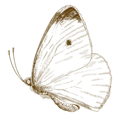 arthropods: Vector antique engraving illustration of small cabbage white butterfly isolated on white background