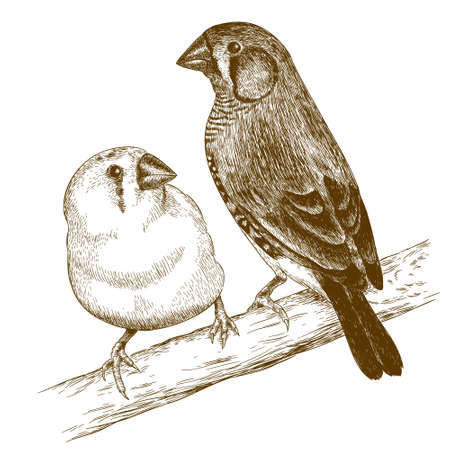 ornithologist: Vector antique engraving illustration of two japanese finches isolated on white background