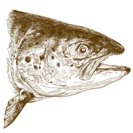 Vector antique engraving illustration of salmon head isolated on white background