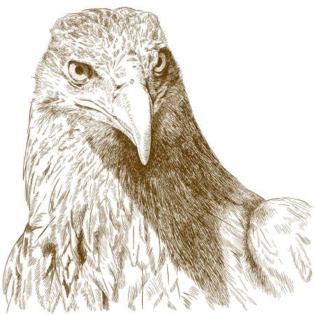 goshawk: Vector antique engraving illustration of big eagle head isolated on white background