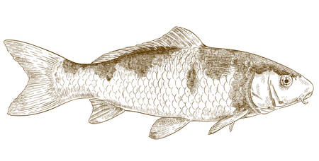 Vector antique engraving illustration of koi fish isolated on white background