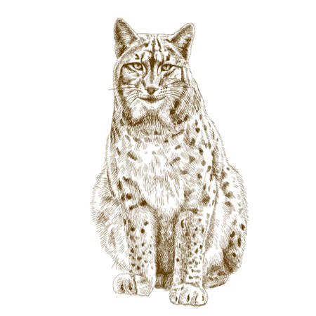 threatened: Vector antique engraving illustration of lynx isolated on white background