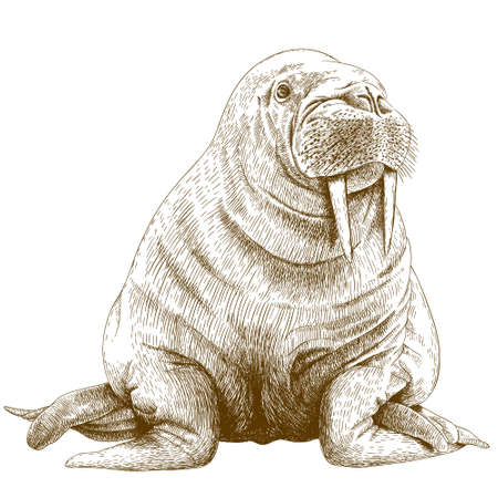 Vector antique engraving illustration of big walrus isolated on white background
