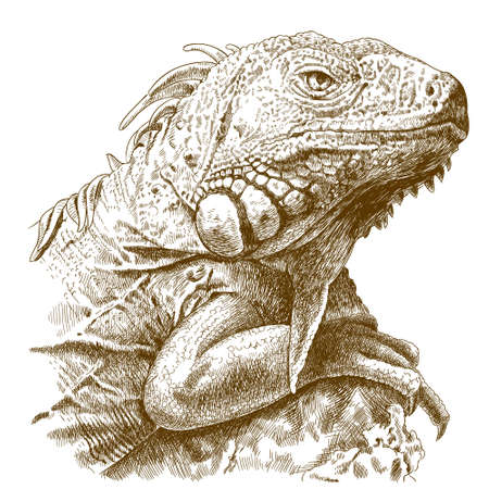 Vector antique engraving illustration of iguana head isolated on white background