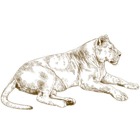 Vector antique engraving illustration of lioness isolated on white background