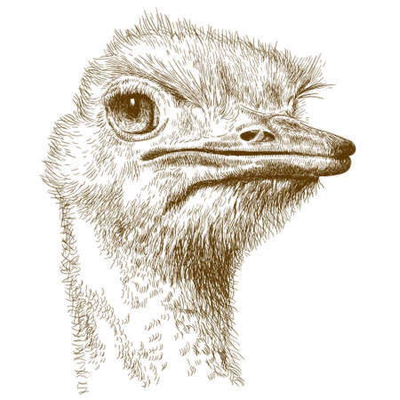 Vector antique engraving illustration of ostrich head isolated on white background