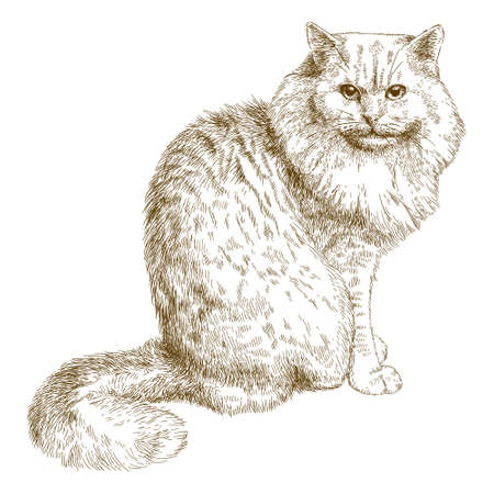 Vector antique engraving illustration of big cat isolated on white background