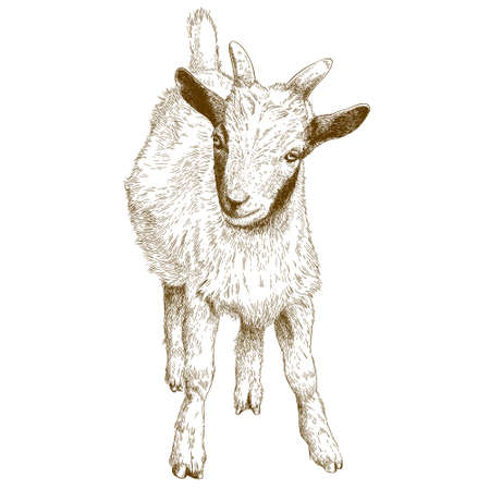 domestic life: Vector antique engraving illustration of goat kid isolated on white background