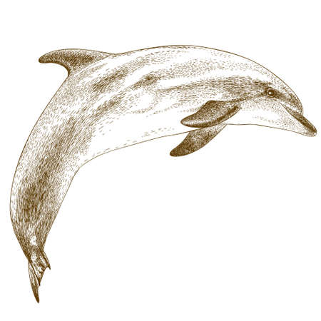 cetacean: Vector antique engraving illustration of dolphin isolated on white background