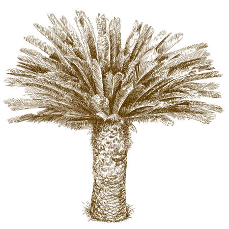Vector antique engraving illustration of cycas palm isolated on white background
