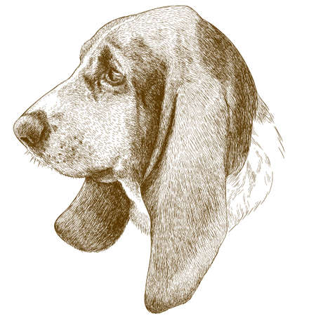 Vector antique engraving illustration of basset hound head isolated on white background Illustration