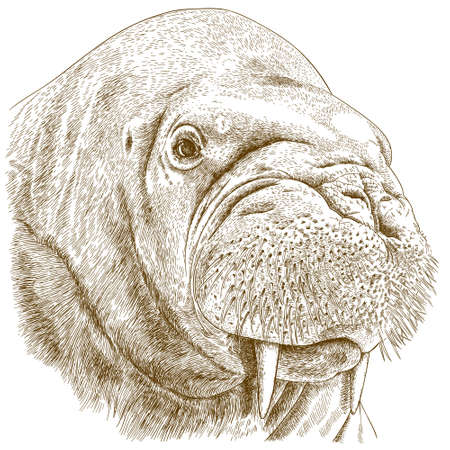 Vector antique engraving illustration of big walrus head isolated on white background