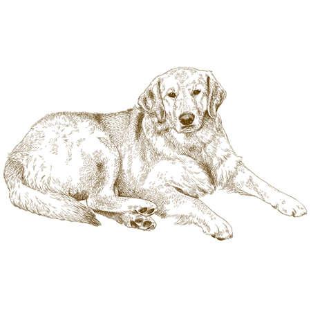 벡터 골동품 판화 래브라도 또는 골든 리트리버의 그림 흰색 배경에 고립 된 그림