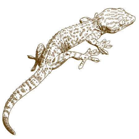Vector antique engraving illustration of gecko isolated on white background