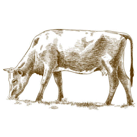 Vector antique engraving illustration of cow isolated on white background Illustration
