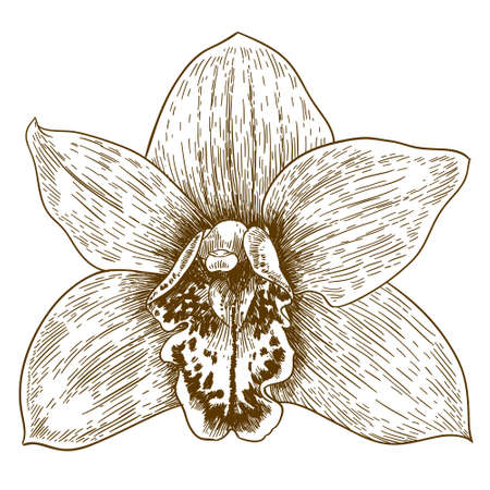 Vector antique engraving illustration of orchid flover isolated on white background Illustration