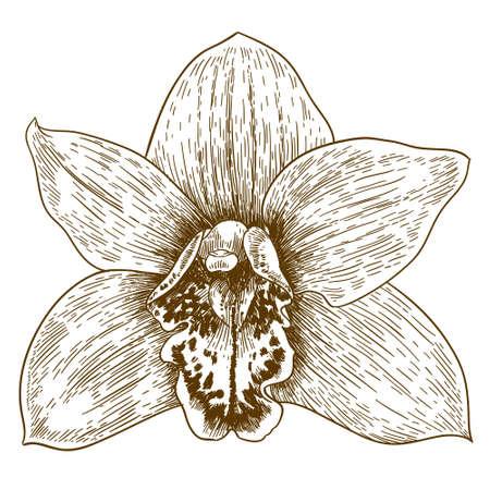 Vector antique engraving illustration of orchid flover isolated on white background Ilustração