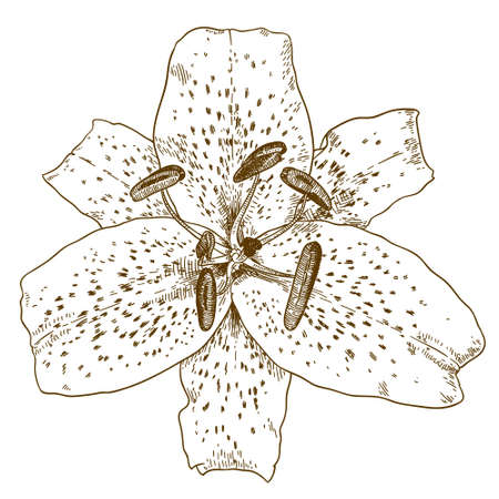Vector antique engraving illustration of tiger lily flower isolated on white background