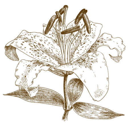 Vector antique engraving illustration of lily isolated on white background